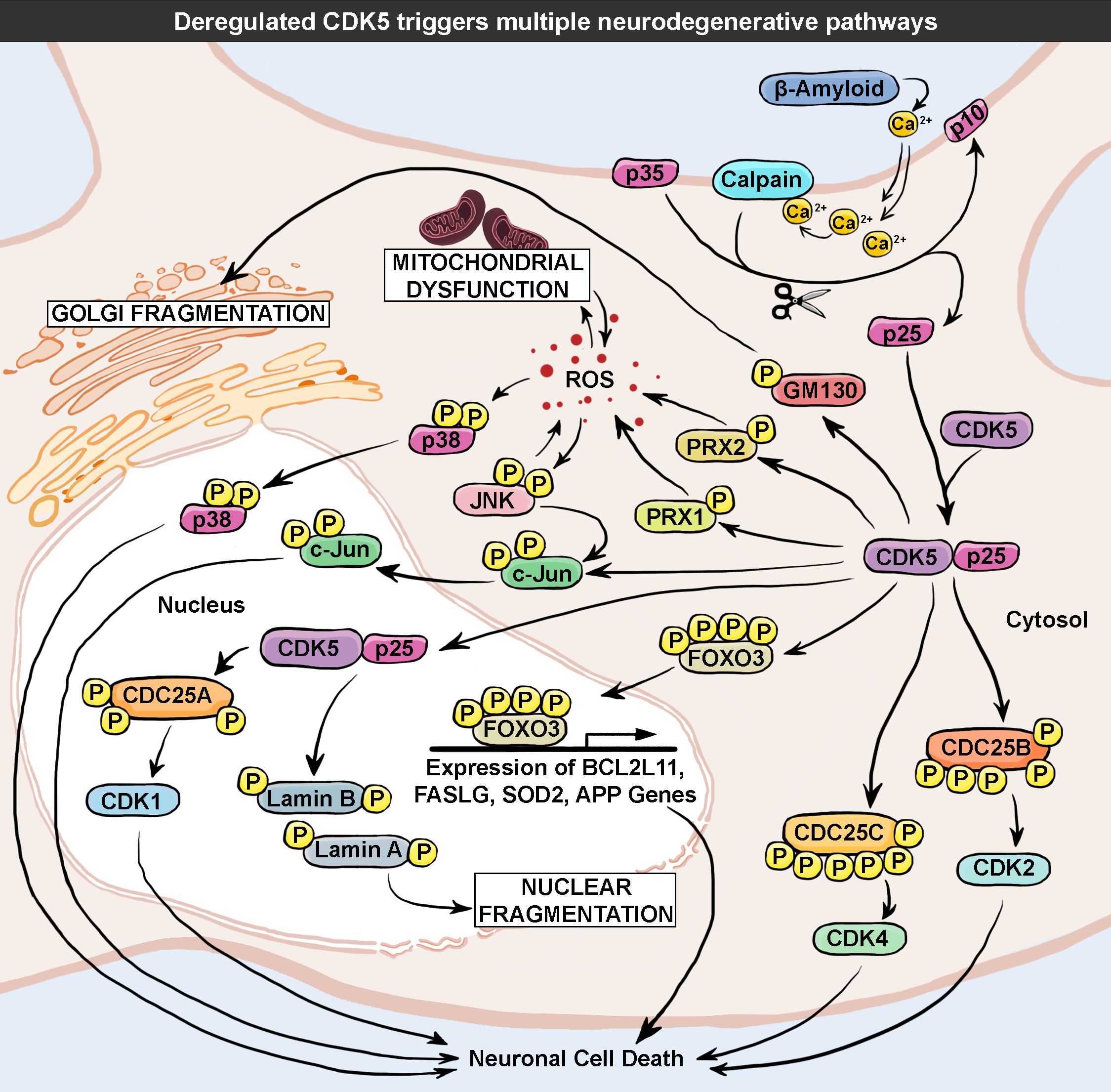 illustration deregulated CDK5 triggers multiple neurodegenerative pathways 72